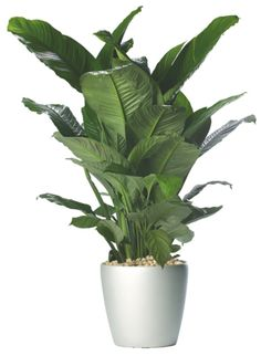"Spathiphyllum wallisii ""peace lily"""