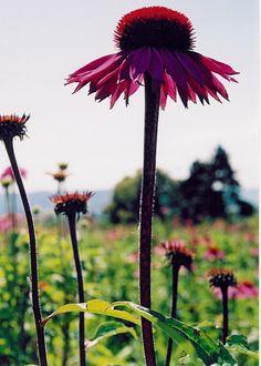 Organic Echinacea purpurea growing in Herefordshire, for Viridian Organic Echinacea Tincture.