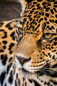Jaguar Wild and free - baby animals. Beautiful Cats, Animals Beautiful, Cute Animals, Wild Animals, Jaguar, Gato Grande, Majestic Animals, Mundo Animal, Cute Animal Pictures