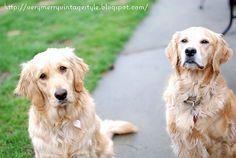 Marley & Breeze. Golden Retrievers