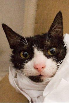 Cómo dar medicina a un gato