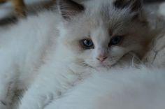 ragdoll-cat21