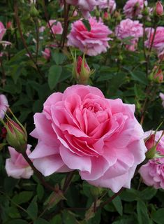 Captivating Why Rose Gardening Is So Addictive Ideas. Stupefying Why Rose Gardening Is So Addictive Ideas. Bed Of Roses, Pink Roses, Pink Flowers, Yellow Roses, May Flowers, Exotic Flowers, Pretty Roses, Beautiful Roses, Purple Roses Wallpaper
