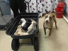 06/22/16 SUPER URGENT DOG and PUPPIES TO ADOPT / FOSTER / RESCUE or they will be destroyed!!! #A461660 I am a female brown and white Pit Bull Terrier mix breed dog and my young puppies. I have been at the shelter since Jun 15, 2016. This information was refreshed 53 minutes ago and may not represent all of the animals at the Harris County Public Health and Environmental Services.