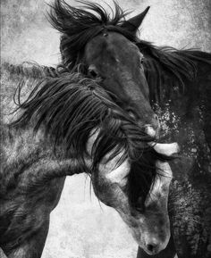 Horses at play. Gorgeous black and white horse photograpy.
