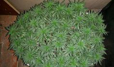 warrenthestrain:    ganja herb cannabis stoner kush marijuana weed 420strain pot
