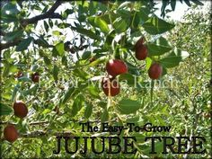 In searching for the identity of fruit trees at an old homestead we consulted…