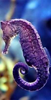 A pretty Purple Seahorse
