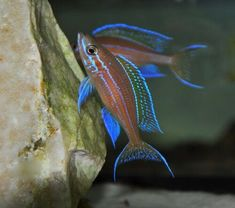 Summary: Many people are delighted by keeping live and colorful tropical fish at their home. Countless species of fish are kept at home as pets. There are several Tropical fish online stores that sell tropical fish online. Cichlid Aquarium, Cichlid Fish, Discus, Live Aquarium Fish, Tropical Fish Aquarium, Tropical Freshwater Fish, Freshwater Aquarium Fish, Colorful Animals, Colorful Fish