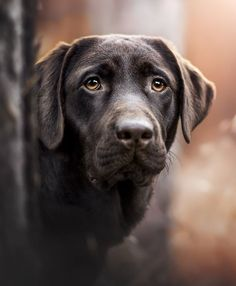 PurrPaws Fotografie Chocolate Labrador Retriever Labs Dog Photography