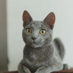 Русская голубая серый кот Хамон (10)