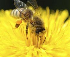 ABEJAS VIRUS  Un ácaro propaga un virus letal para las abejas de la miel  Redacción Internacional, 8 jun (EFEciencia).- Un ácaro parásito ha propagado un virus que está diezmando a las colonias de abejas de miel en el mundo, según un estudio de las universidades de Sheffield (Reino Unido) y de Hawai (EE.UU).