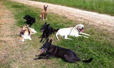 Die Hunde - Meute am Rhein in Meerbusch Nierst auf dem Deich der Rheingemeinden - Golden Retriever , Labrador , Schäferhund , Collie und Co.