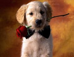 dog holding a rose in his mouth