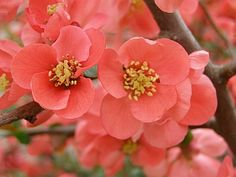 False Quince - Chaenomeles japonica.  Along with Forsythias, the first to bloom in the spring.