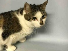 BAILEY - A1074716 - - Brooklyn  Please Share:   ***TO BE DESTROYED 05/27/16*** BEAUTIFUL BAILEY HAS LIVED WITH VERY YOUNG CHILDREN BUT WAS DUMPED FOR ALLERGIES. BAILEY lived with her family since she was a kitten. Her owner said that she was around newborns and young kids and would even approach them to be petted. She was said to solicit attention from both family members and strangers and loves to play with people. Wow what a great cat!! BAILEY does not understand why her