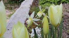Tulipanes y eucharis. Para conocer más sobre plantas bulbosas visita: http://www.elhogarnatural.com/Bulbosas.htm