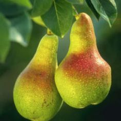 The pear is any of several tree and shrub species of genus Pyrus (pron.: /ˈpaɪrəs/), in the family Rosaceae. It is also the name of the pomaceous fruit of these trees. Several species of pear are valued by humans for their edible fruit, while others are c Fruit And Veg, Fruits And Vegetables, Fresh Fruit, Pear Fruit, Apple Pear, Pear Trees, Fruit Trees, Pears Benefits, Health Benefits