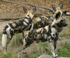 ~ African Wild Dog (Lycaon pictus)  ~ endangered