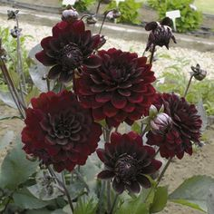 Dahlias, ahh, so beautiful and so late summer/fall. The chocolate burgundy color really would complement the coral/peach/gray pallet.