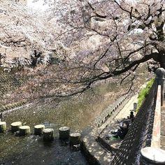 Sakura in Japan. So beautifull and amazing and wonderfull walking along the river. It's so pretty the spring in Japan! Copyright by www.anne-mette.com  #sakura  #flysas #spring #enjoy #nyderlivet #lovetraveling #lovetravel #love_natura #flowers #blooming #blomsterglede #nature #naturephotography #politiken_rejser #photo #photooftheday #lovetravel #lovespring #lovebeauty #calm #reikilove #kirsebærtræer #peace #peaceful #beautifull #beautifullife #beautifullplace #instagramphoto #copyright…