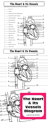 Heart Diagram Label Color Personal Use Only Anatomy And Physiology