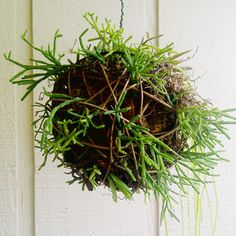 - a grapevine ball, available at craft stores      - orchid bark, available at garden centers      - sphagnum moss, available at garden centers      - epiphytic cacti, which are incredibly easy to root and care for    The cuttings take root quickly, and will eventually form a solid mass of luxuriant rainforest growth.