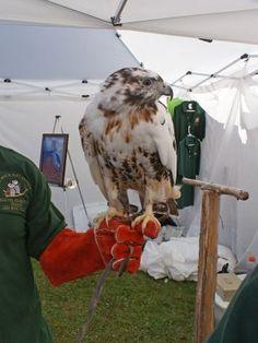 albino Redtail Hawk