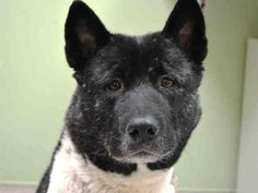 SAFE 1/2/15 --- Manhattan Center   MAHAL - A1024248  FEMALE, BLACK / WHITE, AKITA MIX, 5 yrs STRAY - STRAY WAIT, NO HOLD Reason STRAY  Intake condition EXAM REQ Intake Date 12/29/2014, From NY 10459, DueOut Date 01/01/2015,  https://www.facebook.com/Urgentdeathrowdogs/photos/pb.152876678058553.-2207520000.1419888940./931514053528141/?type=3&theater