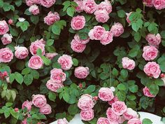 Spreading across fences, trellises and pergolas,  climbing roses  make gorgeous additions to cottage gardens. 'Constance Spry' (pictured), a  David Austin  climbing rose, produces magnificent, clear pink blooms of true old rose form.