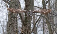 A Great Gray Owl takes flight from its perch.  Small serrations on its primary feathers help caress the air resulting in silent flight.  Prey can't hear them coming but more importantly, there is no other sound such as the rustling of feathers which could interfere with the owl pin pointing the location of voles.