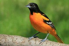 How to Attract Orioles: The early bird gets the worm when it comes to attracting orioles to your backyard. Find out more about the oriole family and how to attract them to your yard. birdsandblooms.com