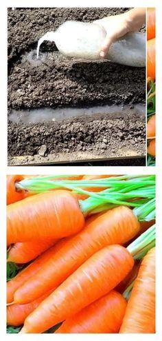 Хитрый способ посадки моркови без прореживания обеспечивающий хороший урожай Carrots, Vegetables, Plants, Garden, Wood, Lawn And Garden, Carrot, Vegetable Recipes, Plant