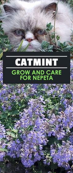 Did you know there are over 250 varieties of catmint? Do you know the difference between catnip and catmint? Learn this and much more in this in-depth guide.