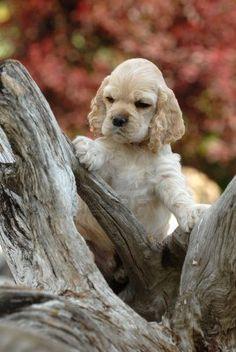 5055340-american-cocker-spaniel-puppy-standing-an-a-piece-of-wood.jpg (268×400)