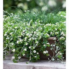 Like a garden in miniature, long-flowering trailing Bacopa, planted around a fountain of silver-leaved Festuca glauca, forms a low-maintenance & stylish pot