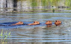 A Capybara and its litter swim in an area flooded by the overflowing of the Mamore river during heavy rains in the outskirts of Trinidad, Bolivia