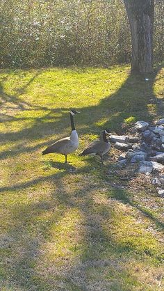 Canadian geese at Sweet P's