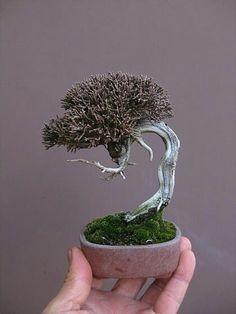 pin von alice oliveira auf bonsai pinterest pflanzen. Black Bedroom Furniture Sets. Home Design Ideas