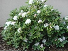 Rhododendron - Boule de Neige. Partial shade, White blooms, 4'H. Ours bought 6/27/2006, planted in the SE shade garden under the Redbud trees.