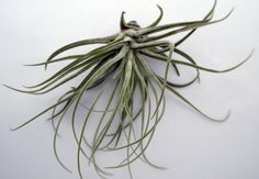 Air plant, Tillandsia oaxacana, great for sunny windowsills, perfect gift for someone with no space for plants by HomePlants on Etsy