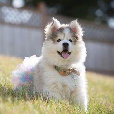 #throwbackthursdayyy to when Mocha was my little ballerina bear!! Huskies On Instagram, Cute Dogs, Dog Lovers, Husky, Husky Puppy, Cute Husky, Best Dogs On Instagram, Fluffy Dogs, Cutest Dogs, Huskies, Siberian Husky, Siberian Huskies, Cute Huskies, Bes #siberianhusky #littledogbreeds