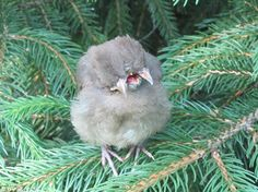 """""""Perched on a branch was a baby female Cardinal with two heads and three beaks.         Speaking to ABC40, Mrs Britt, from Northampton, Massachusetts, said: 'My husband says """"Oh my God. Look at this poor thing! That's an oddity if I ever saw one.'"""
