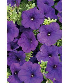 Proven Winners | Supertunia® Royal Velvet - Petunia hybrid