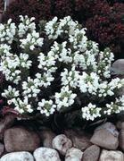 Isoniittyhumala valkoinen Helppohoitoinen, kasvupaikan suhteen vaatimaton perenna joka sopii hyvin maanpeitekasviksi. Lisätään jakamalla, mutta risteytyy ja kylväytyy helposti myös siemenistä. Kukkavarsien leikkaaminen heti kukinnan jälkeen estää kasvin liiallista leviämistä.