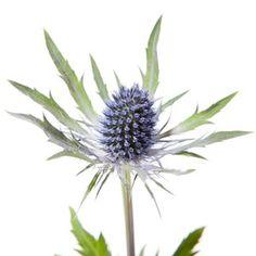 Blue Eryngium Thistle - Super Nova - Eryngium (Thistle) - Types of Flowers Rare Flowers, Fresh Flowers, Scottish Thistle, Flower Bouquet Wedding, Bouquet Flowers, Types Of Flowers, Flower Boxes, Flower Arrangements, Plants