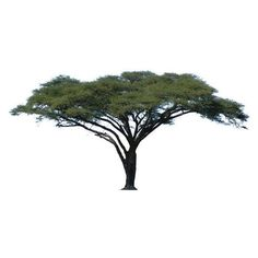 Acacia Tree Vector. Africa. Camel Thorn Tree. ❤ liked on Polyvore featuring home, home decor and acacia home decor