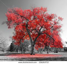 stock-photo-big-red-tree-in-a-black-and-white-landscape-256263715.jpg (450×429)