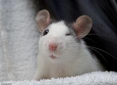 .cute little rat