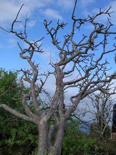 Arbol de Bursera Graveolens, Palo Santo